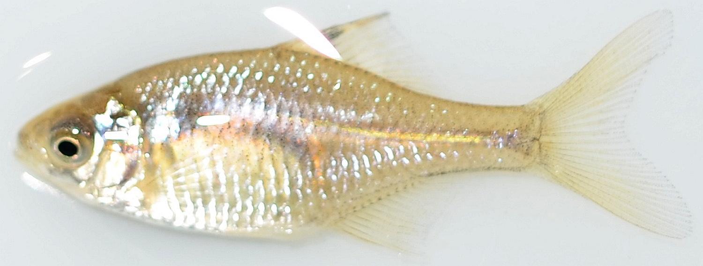 岡山県の淡水魚 [日淡会]